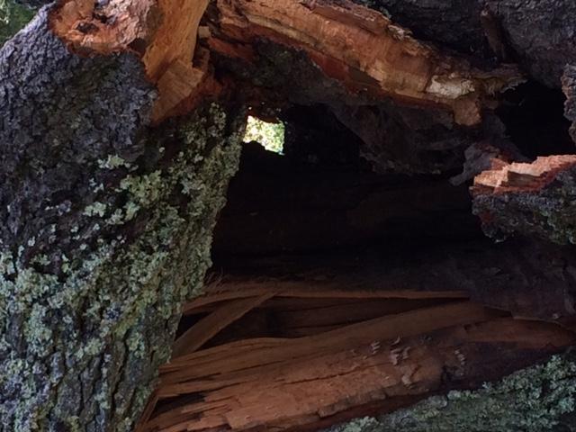 Hollow Tree_0501